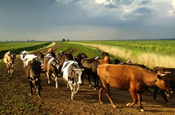 33 коровы слова: